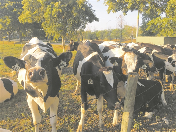 Don't huddle like a Holstein!